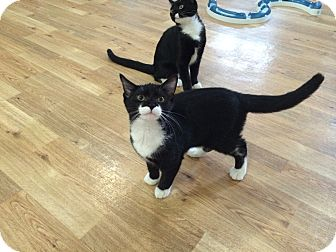 Domestic Shorthair Kitten for adoption in Speonk, New York - Brigit