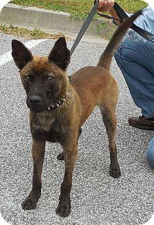 Dutch Shepherd Mix Dog for adoption in Sumter, South Carolina - SPIKE