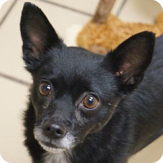 Chihuahua Mix Dog for adoption in Eatontown, New Jersey - Wilson