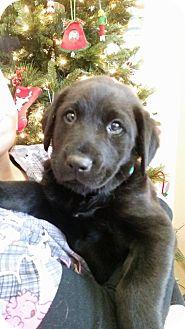 Labrador Retriever Mix Puppy for adoption in Colonial Heights, Virginia - Delilah
