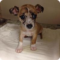 Adopt A Pet :: Sweet Tater - Shawnee Mission, KS