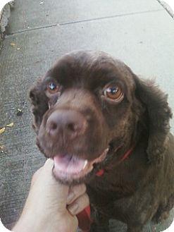 Cocker Spaniel Dog for adoption in Flushing, New York - Dina