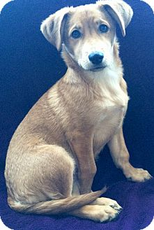 Corgi/Terrier (Unknown Type, Small) Mix Puppy for adoption in Pennigton, New Jersey - Daisy