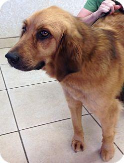 Golden Retriever Mix Dog for adoption in BIRMINGHAM, Alabama - Dixie III