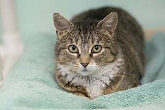 Domestic Shorthair Cat for adoption in Walden, New York - Cypress