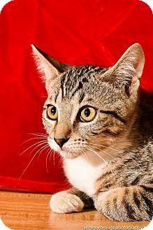 Domestic Shorthair Kitten for adoption in Athens, Georgia - Bailey