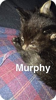 Domestic Shorthair Kitten for adoption in Grand Rapids, Michigan - Murphy