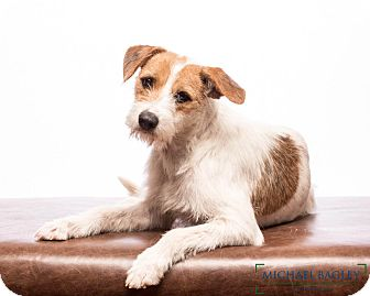 Wirehaired Fox Terrier Mix Dog for adoption in Woonsocket, Rhode Island - Mary Lou-meet her- great w/all