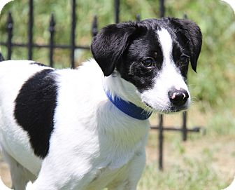 Terrier (Unknown Type, Small) Mix Dog for adoption in Marietta, Ohio - Spanky