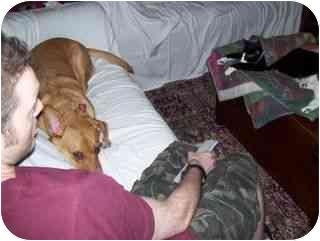 Corgi/Labrador Retriever Mix Dog for adoption in Long Beach, New York - Gringo