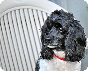 Toy Poodle Dog for adoption in Elk River, Minnesota - LUCKY