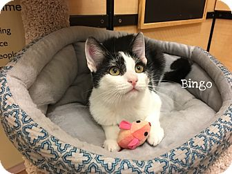 Domestic Shorthair Cat for adoption in Foothill Ranch, California - Bingo