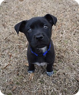 Labrador Retriever/German Shepherd Dog Mix Puppy for adoption in Memphis, Tennessee - Grizz