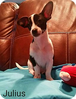 Chihuahua/Terrier (Unknown Type, Small) Mix Puppy for adoption in Hamilton, Ontario - Julius