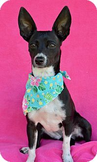 Rat Terrier/Chihuahua Mix Dog for adoption in Irvine, California - CeeCee