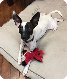 Rat Terrier/Italian Greyhound Mix Dog for adoption in Charlotte, North Carolina - Shadow