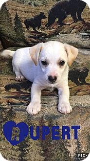 Jack Russell Terrier/Feist Mix Puppy for adoption in Cranford, New Jersey - Rupert