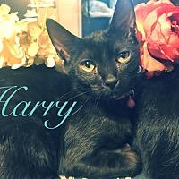 Adopt A Pet :: Harry - Huntsville, AL