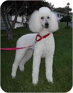 Poodle (Standard) Dog for adoption in Naugatuck, Connecticut - Nancy
