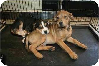 Beagle Mix Puppy for adoption in tucson, Arizona - Rocket