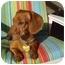 Photo 3 - Dachshund Dog for adoption in San Jose, California - Ricky
