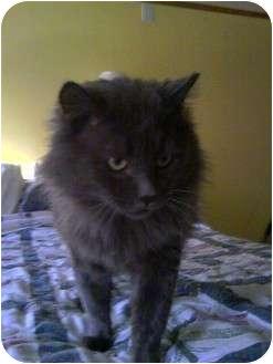 Domestic Longhair Cat for adoption in Hampton, Connecticut - Big Boy