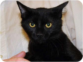 Domestic Shorthair Cat for adoption in Monroe, Georgia - Dhani