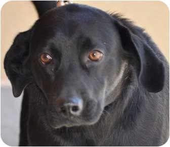 Labrador Retriever Dog for adoption in Atlanta, Georgia - Liam