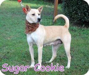 Norwegian Buhund Mix Dog for adoption in Georgetown, South Carolina - Sugar Cookie