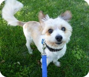 Maltese Mix Dog for adoption in Sacramento, California - Chance