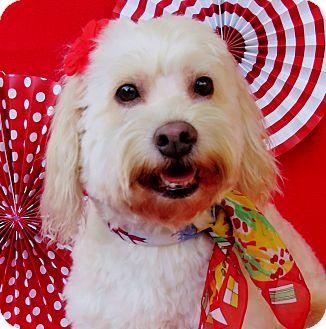 Cockapoo/Poodle (Miniature) Mix Dog for adoption in Irvine, California - Miranda