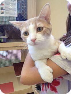 Domestic Shorthair Cat for adoption in Fountain Hills, Arizona - HEMINGWAY (Polydactyl)