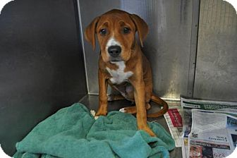 Boxer/Hound (Unknown Type) Mix Puppy for adoption in Media, Pennsylvania - Willow