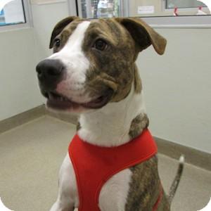 American Pit Bull Terrier Mix Dog for adoption in Gilbert, Arizona - Buddy
