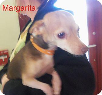 Chihuahua Dog for adoption in Slidell, Louisiana - Margarita