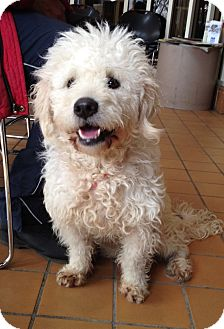 Poodle (Miniature) Mix Dog for adoption in Wethersfield, Connecticut - George