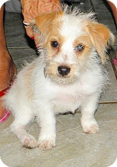 Jack Russell Terrier/Terrier (Unknown Type, Small) Mix Puppy for adoption in Terra Ceia, Florida - PADDY