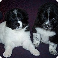 Adopt A Pet :: Sally & Sam - Denver, IN