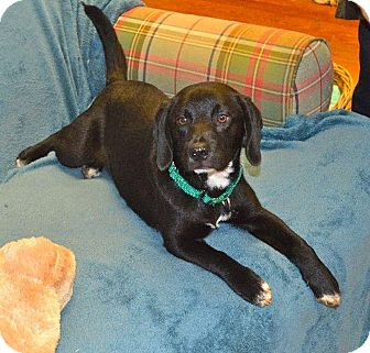 Beagle/Labrador Retriever Mix Dog for adoption in Knoxville, Tennessee - Cooper