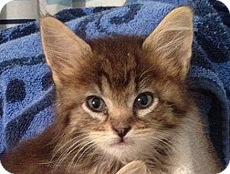 Maine Coon Kitten for adoption in Virginia Beach, Virginia - Taco