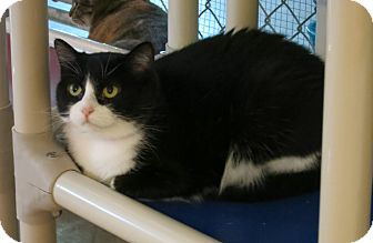 Domestic Shorthair Cat for adoption in Geneseo, Illinois - Mittens