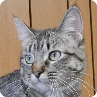 American Shorthair Cat for adoption in Des Moines, Iowa - Maddy
