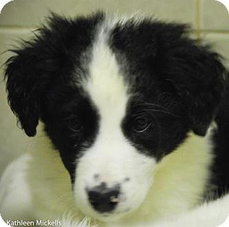 Great Pyrenees/Border Collie Mix Puppy for adoption in Philadelphia, Pennsylvania - Tico