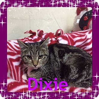 Domestic Shorthair Kitten for adoption in Pahrump, Nevada - Dixie