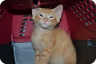 Domestic Shorthair Kitten for adoption in Edwardsville, Illinois - Tang