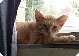 Domestic Shorthair Kitten for adoption in Toledo, Ohio - Sammy