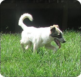 Cattle Dog Mix Puppy for adoption in Warwick, Rhode Island - Bonzo