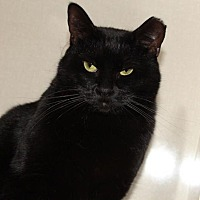 Domestic Shorthair Cat for adoption in St. Louis, Missouri - Sneakers