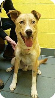 Husky/Catahoula Leopard Dog Mix Dog for adoption in Goodlettsville, Tennessee - Atlas