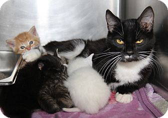 Domestic Shorthair Cat for adoption in Marietta, Ohio - Cameo & Kittens